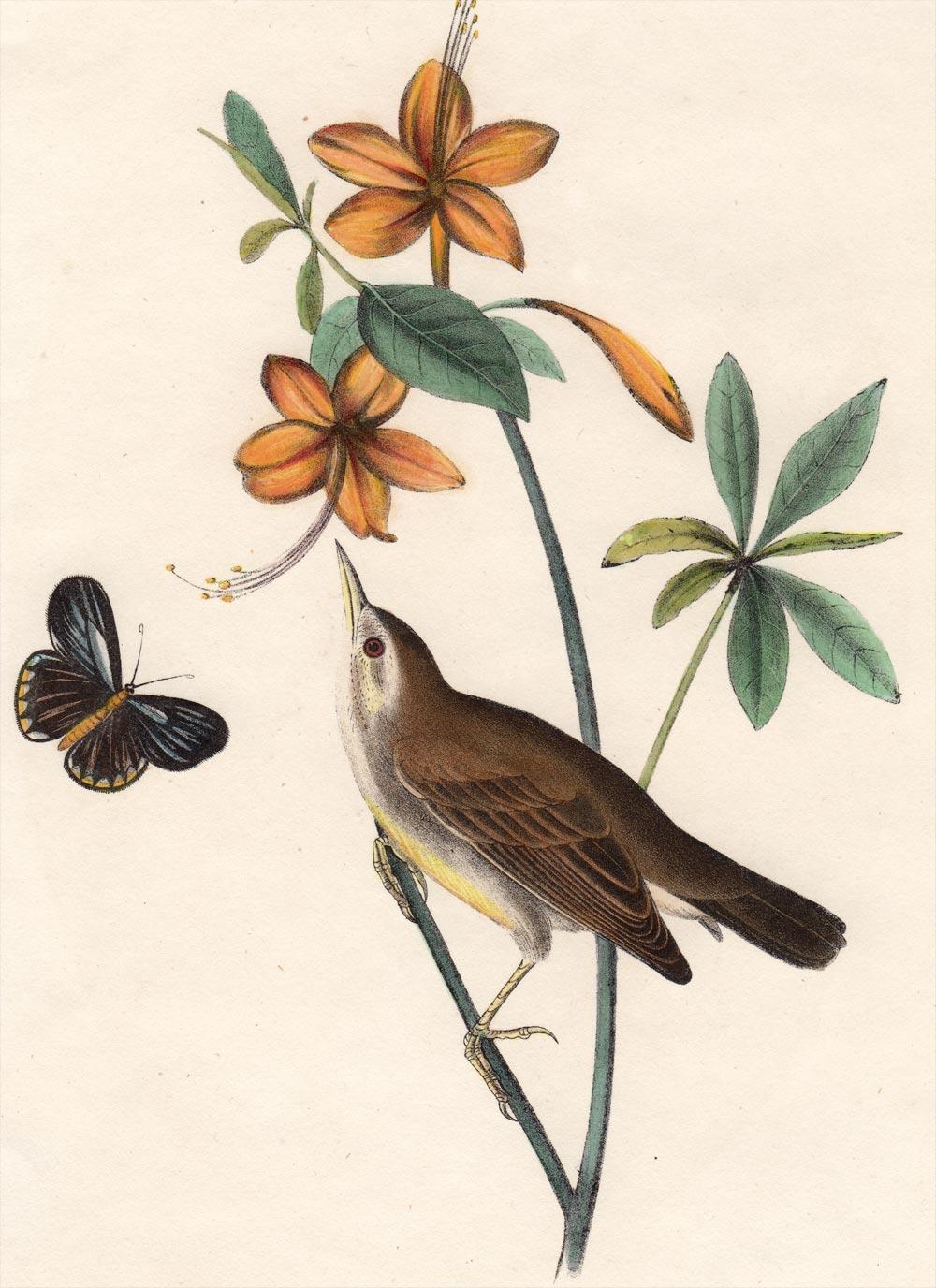 Swainson's Warbler coloring #12, Download drawings