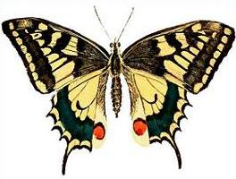 Swallowtail Butterfly clipart #16, Download drawings