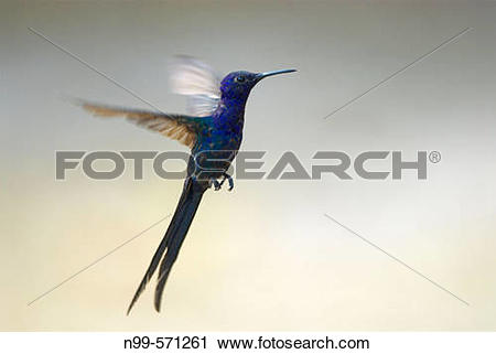 Swallow-tailed Hummingbird clipart #16, Download drawings