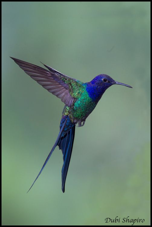 Swallow-tailed Hummingbird clipart #9, Download drawings