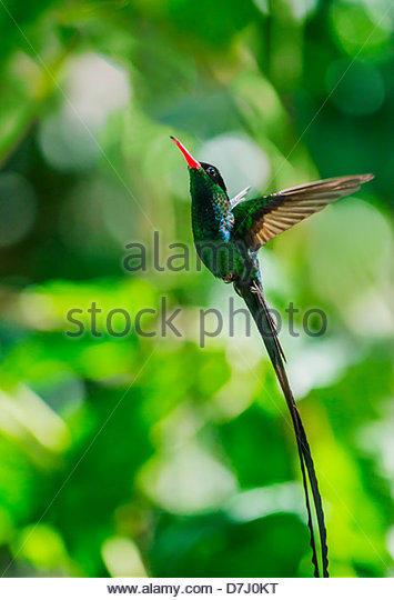 Swallow-tailed Hummingbird clipart #4, Download drawings