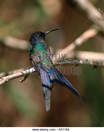 Swallow-tailed Hummingbird clipart #10, Download drawings