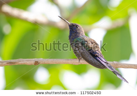 Swallow-tailed Hummingbird clipart #3, Download drawings