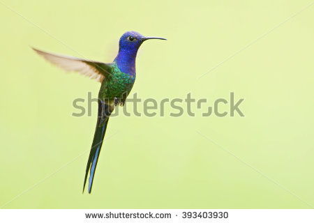 Swallow-tailed Hummingbird clipart #2, Download drawings