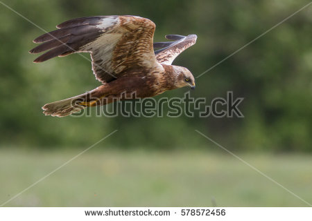 Swamp Harrier clipart #19, Download drawings
