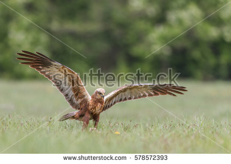 Swamp Harrier clipart #14, Download drawings
