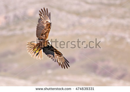 Swamp Harrier clipart #12, Download drawings