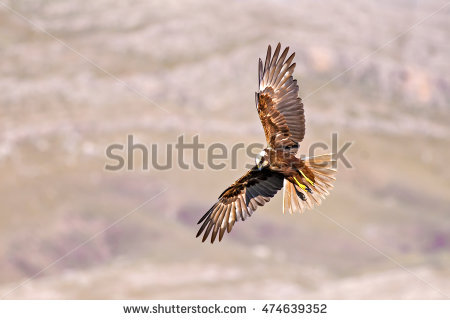 Swamp Harrier clipart #5, Download drawings