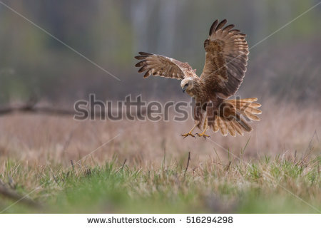 Swamp Harrier clipart #11, Download drawings