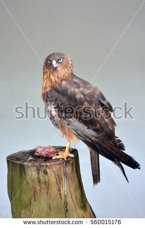 Swamp Harrier clipart #9, Download drawings