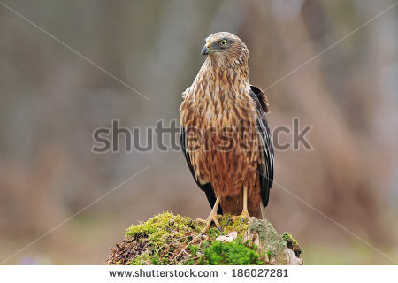 Swamp Harrier clipart #8, Download drawings