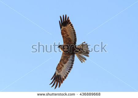 Swamp Harrier clipart #4, Download drawings