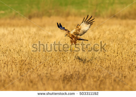 Swamp Harrier clipart #1, Download drawings