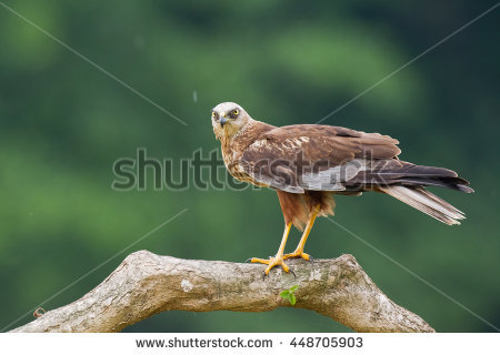 Swamp Harrier clipart #20, Download drawings