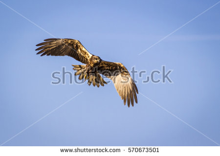Swamp Harrier clipart #2, Download drawings