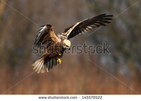 Swamp Harrier clipart #18, Download drawings