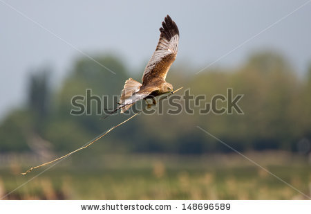 Swamp Harrier clipart #3, Download drawings