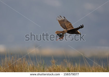 Swamp Harrier clipart #17, Download drawings