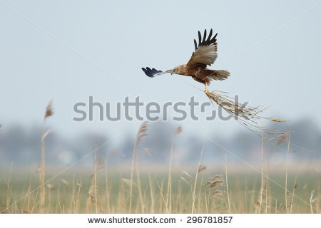 Swamp Harrier clipart #10, Download drawings