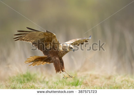 Swamp Harrier clipart #16, Download drawings