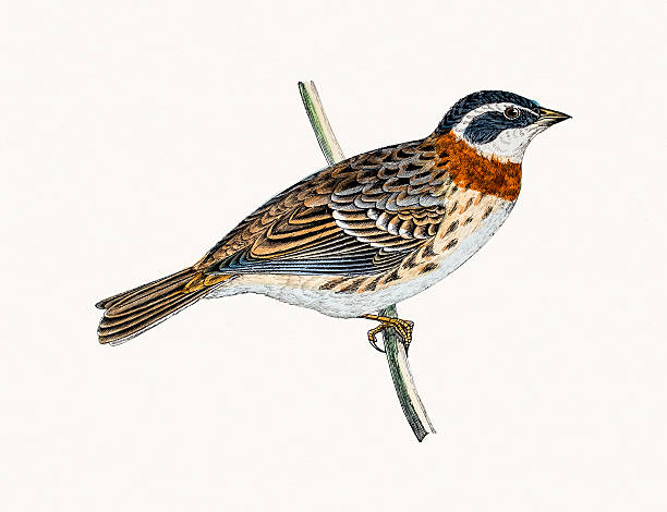 Swamp Sparrow clipart #9, Download drawings