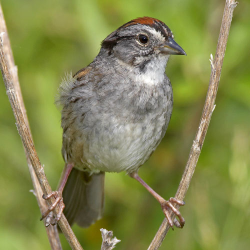 Swamp Sparrow clipart #11, Download drawings
