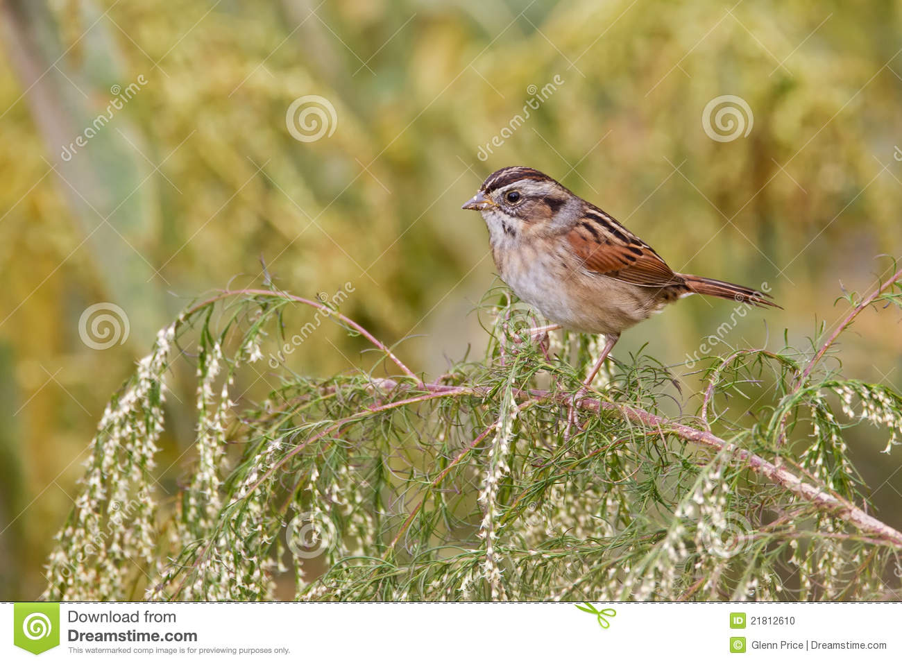 Swamp Sparrow clipart #13, Download drawings