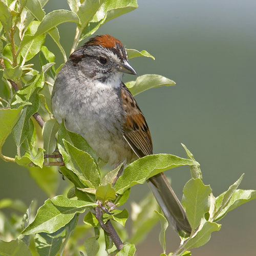 Swamp Sparrow clipart #10, Download drawings