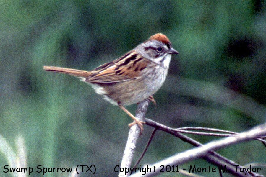 Swamp Sparrow clipart #7, Download drawings