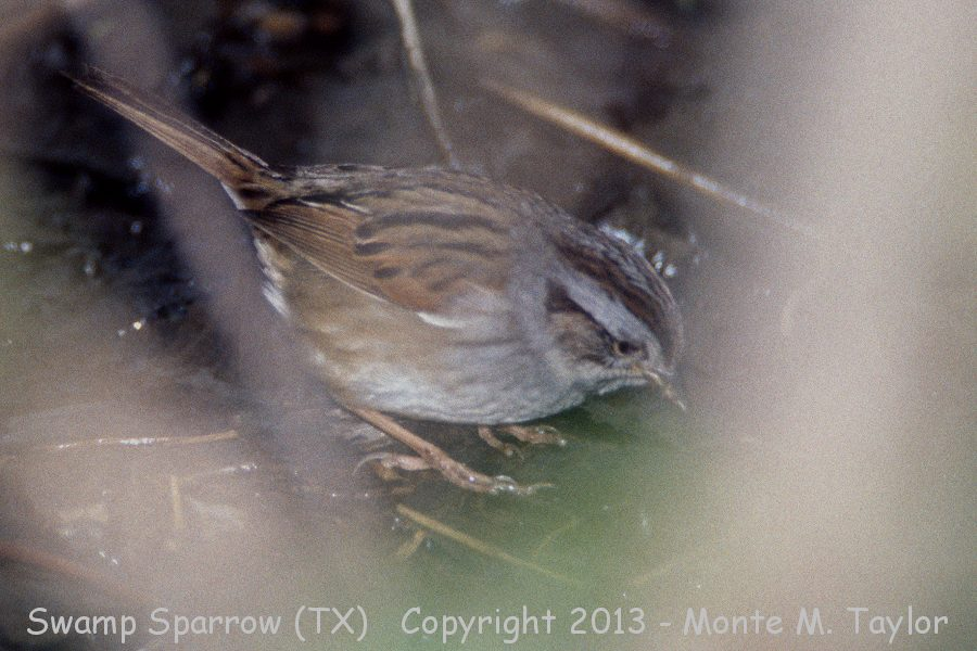 Swamp Sparrow clipart #6, Download drawings