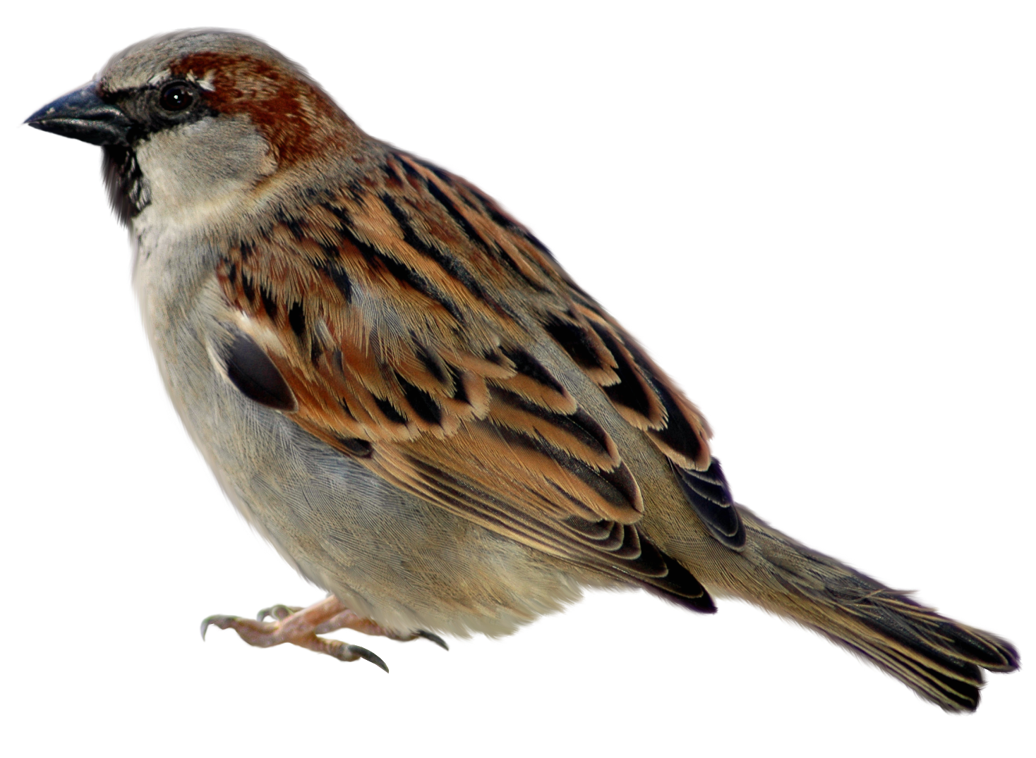 Swamp Sparrow clipart #1, Download drawings