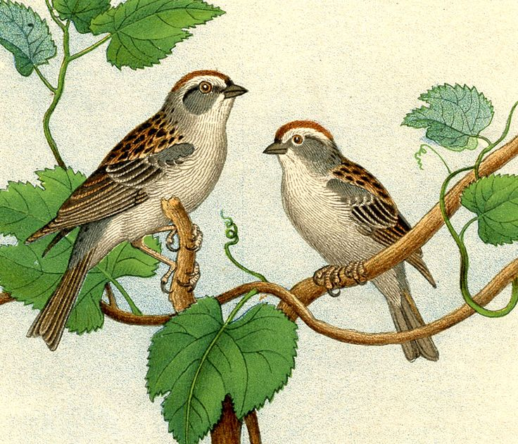 Swamp Sparrow clipart #3, Download drawings
