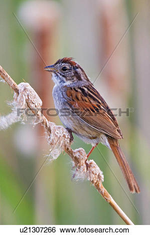 Swamp Sparrow clipart #17, Download drawings