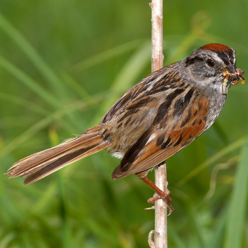 Swamp Sparrow clipart #14, Download drawings