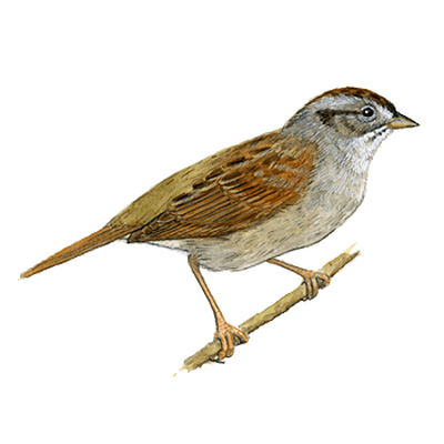 Swamp Sparrow clipart #4, Download drawings