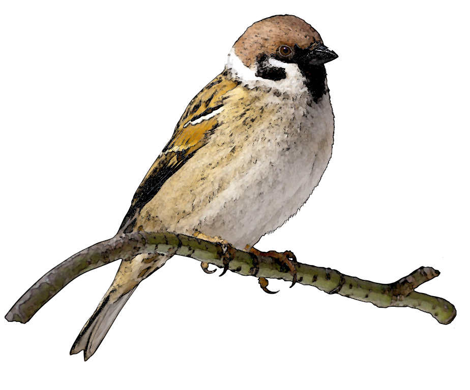 Swamp Sparrow clipart #15, Download drawings