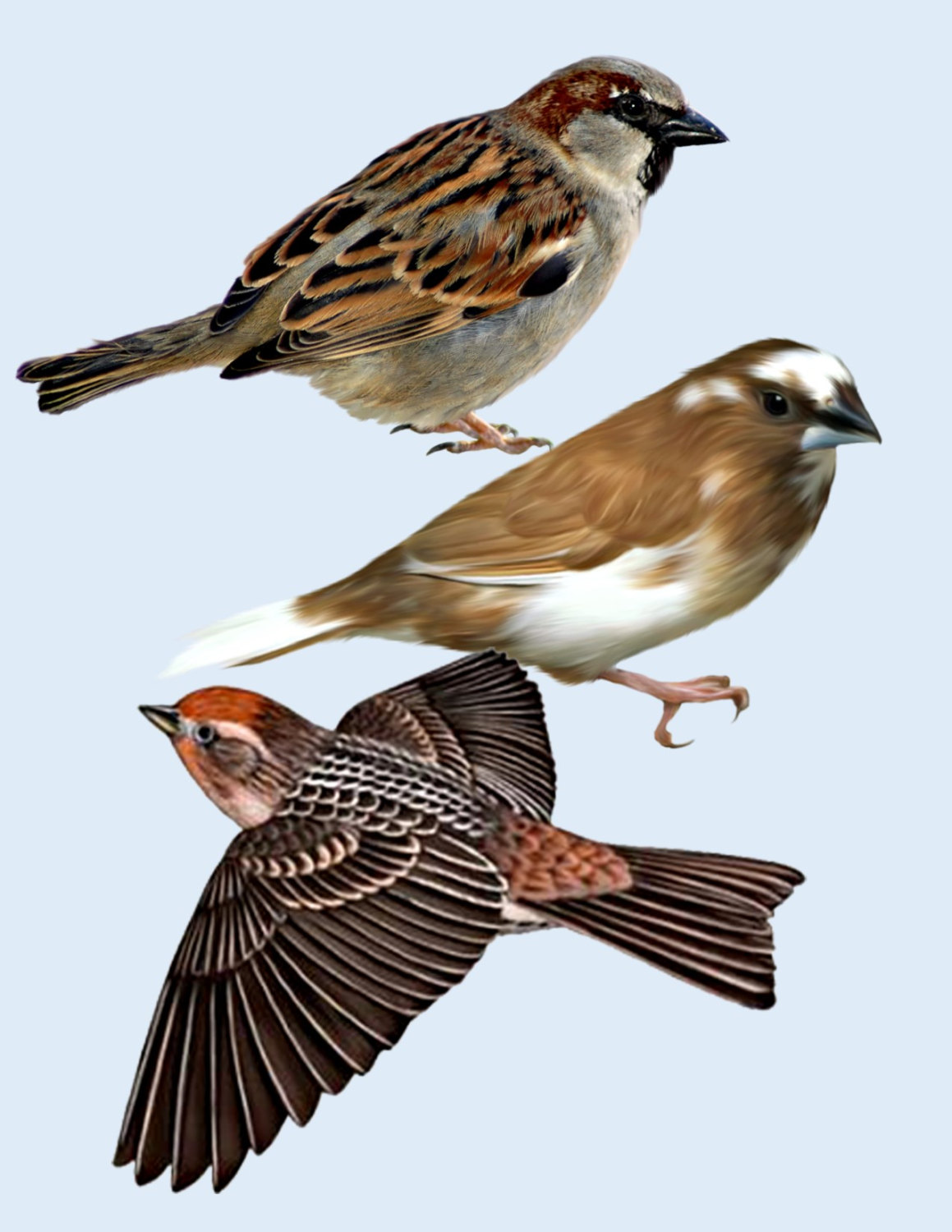 Swamp Sparrow clipart #8, Download drawings