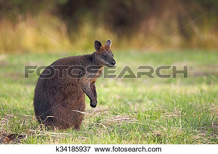 Swamp Wallaby clipart #19, Download drawings