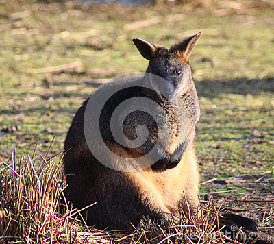 Swamp Wallaby clipart #15, Download drawings