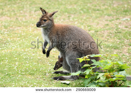 Swamp Wallaby clipart #4, Download drawings
