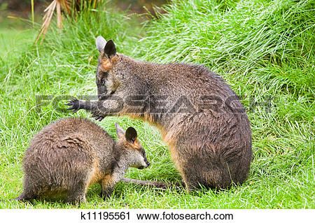 Swamp Wallaby clipart #9, Download drawings