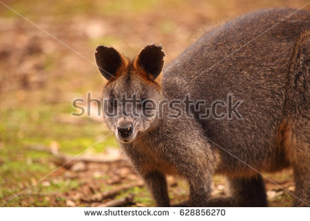 Swamp Wallaby clipart #6, Download drawings