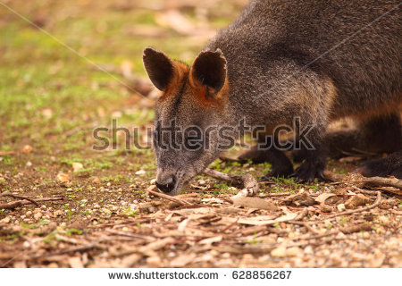 Swamp Wallaby clipart #7, Download drawings