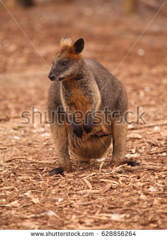 Swamp Wallaby clipart #8, Download drawings