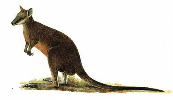 Swamp Wallaby clipart #2, Download drawings