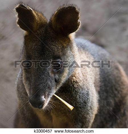 Swamp Wallaby clipart #13, Download drawings