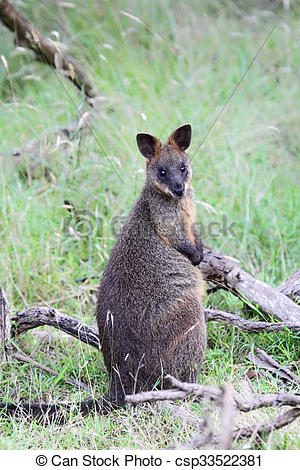 Swamp Wallaby clipart #16, Download drawings