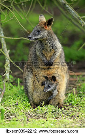 Swamp Wallaby clipart #18, Download drawings