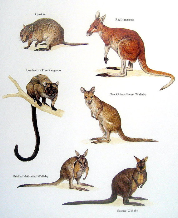 Swamp Wallaby clipart #3, Download drawings