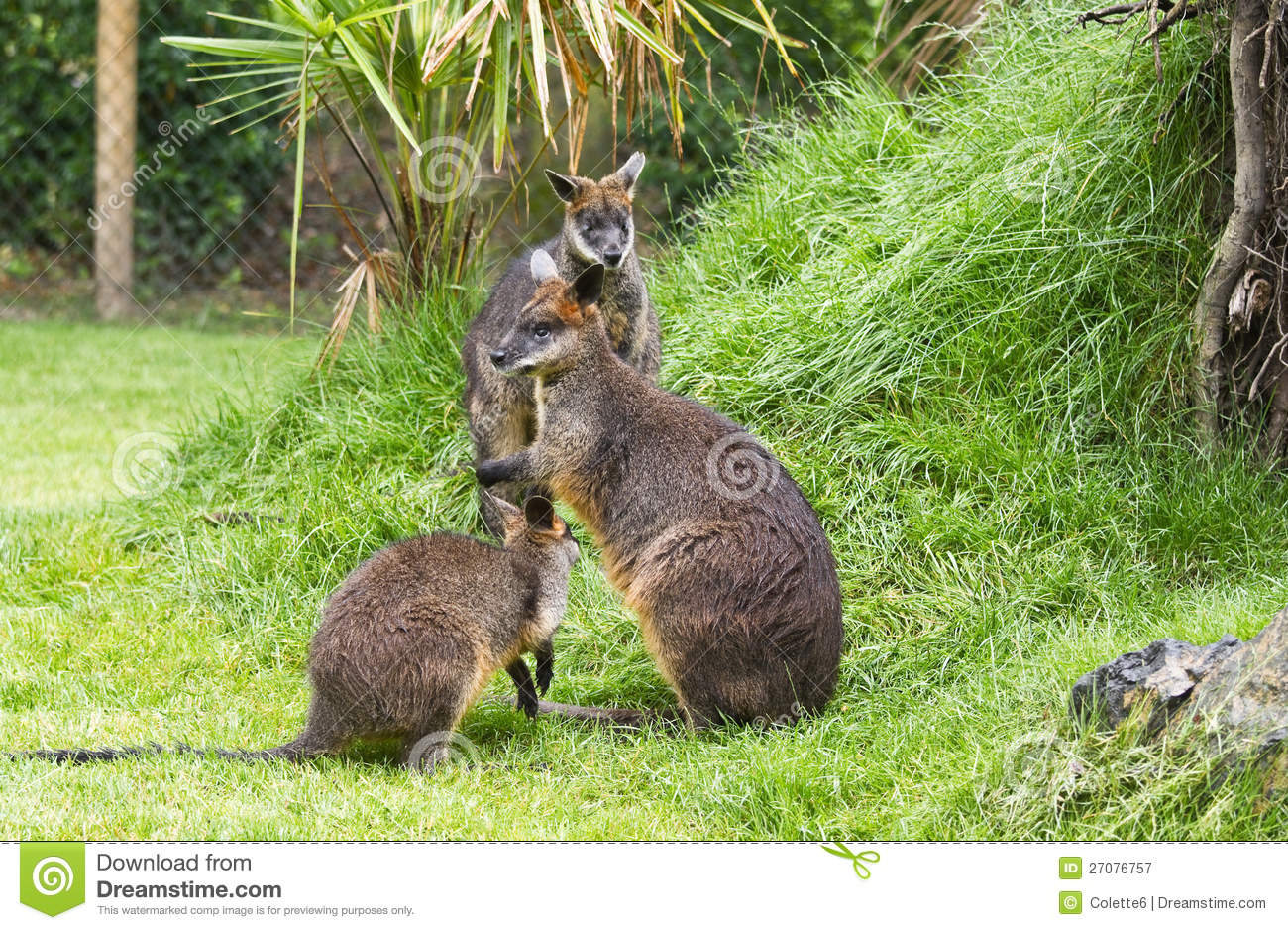 Swamp Wallaby clipart #11, Download drawings